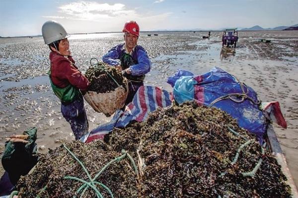 鹤浦镇共有紫菜养殖户300余户,养殖面积达2000余亩,涉业人员